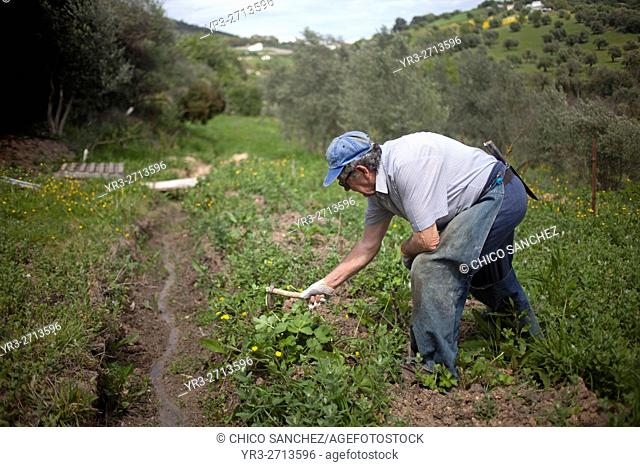 Small farmer working with a hoe in his organic farm in Prado del Rey, Cadiz, Andalusia, Spain. Sanchez produces in his farm vegetables and fruit without using...
