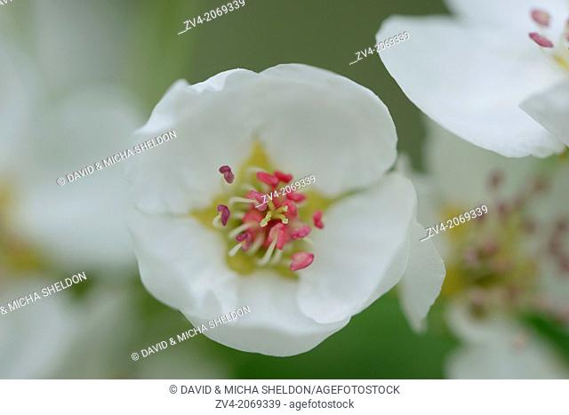 Close-up of pear tree blossoms in spring, Upper palatinate, Bavaria, Germany