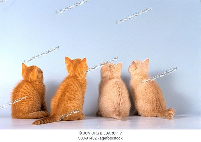 four British shorthair kittens - from behind