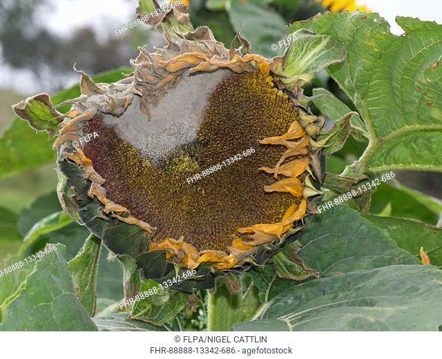 Grey mould, Botrytis cinerea, on a large sunflower flower as it begins to go to seed