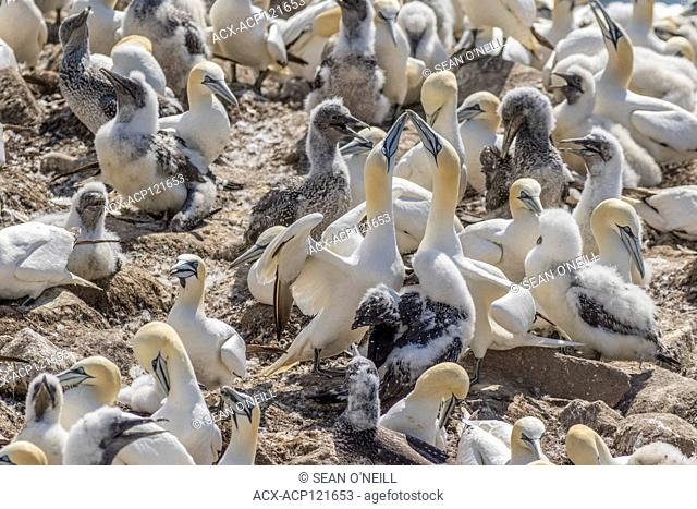 Northern Gannet, Morus bassanus, chicks with parents at Cape St. Mary's ecological reserve, Newfoundland, Canada