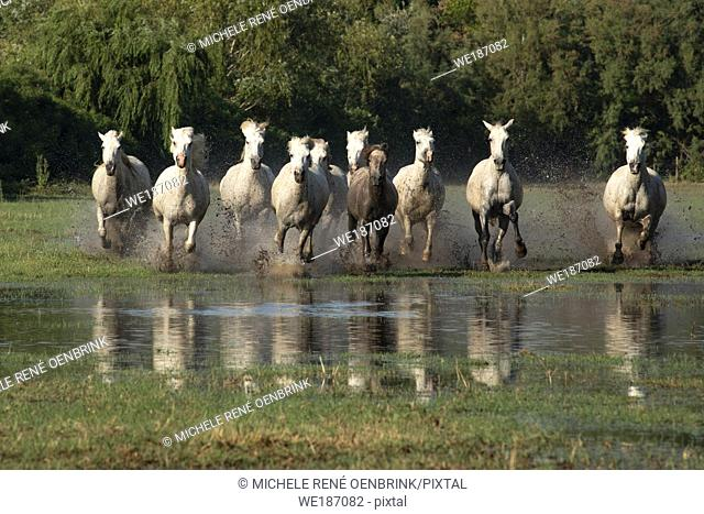 Camargue horses in the wetland area at the mouth of the River Rhône of Southern France