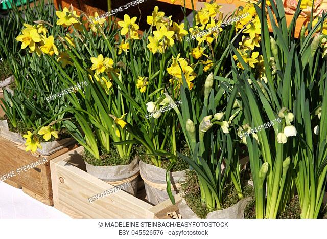 Potted daffodils on display at the farmers market in March