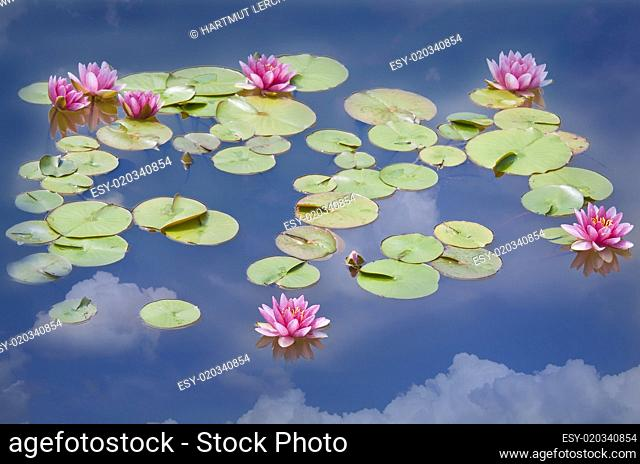 lotus - water lilies in the lake