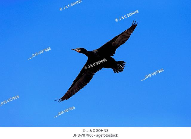 Cape Cormorant, Cape shag, (Phalacrocorax capensis), adult flying, Betty's Bay, Western Cape, South Africa, Africa