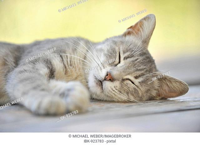 Young grey tabby cat sleeping