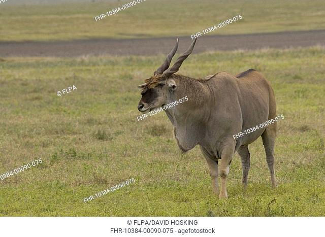 Eland, bull, antelope, hump, dewlap, neck, Taurotragus oryx, Ngorongoro Crater, Tanzania