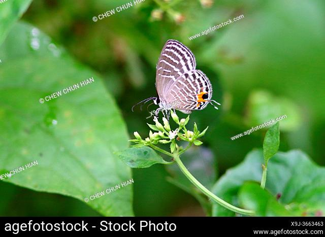 Jamides celeno, the common cerulean, a small butterfly in boneo