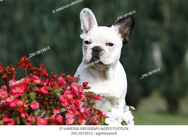 Dog French Bulldog adult in a meadow flowers