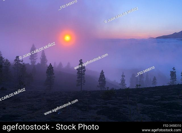 Fog and Canary Island pine forest, Llano del Jable, Island of La Palma, Canary Islands, Spain, Europe