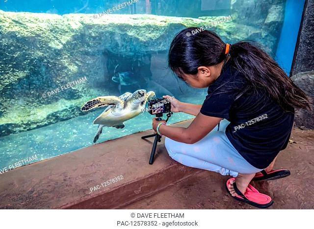 Girl gets a photograph of a green sea turtle (Chelonia mydas), an endangered species, at the Maui Ocean Center; Maui, Hawaii, United States of America