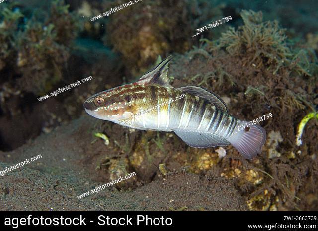 Banded Goby (Amblygobius phalaena), Tukad Linggah dive site, Seraya, Karangasem, Bali, Indonesia, Indian Ocean