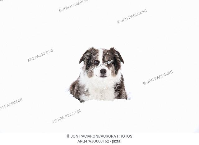 Australian Shepherd sitting contently surrounded by deep snow in Denver, Colorado