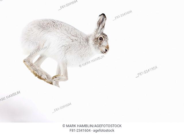 Mountain Hare (Lepus timidus) adult in white winter coat running across snow