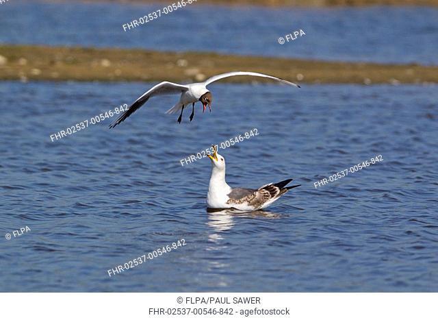 Black-headed Gull Larus ridibundus adult, summer plumage, in flight, mobbing Lesser Black-backed Gull Larus fuscus immature, second summer plumage, swimming