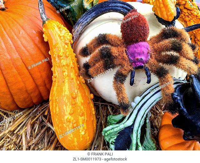 Spider on pumpkins
