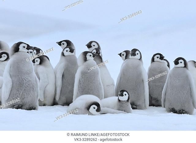 Emperor penguins, Aptenodytes forsteri, Group of Chicks, Snow Hill Island, Antartic Peninsula, Antarctica