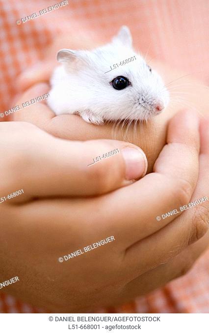 Child holding a White hamster, Valencia, Comunidad Valenciana, Spain, Europe