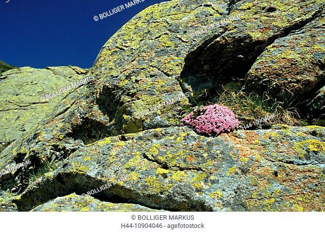 Bernina, Switzerland, canton Graubünden, Engadin, Alpine flora, flower, wild flower, blossom, bloomer, cushion plant, campion, moss campion, Silene exscapa
