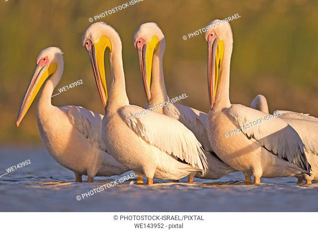 Pelicans in the water Photographed in Ein Afek Nature Reserve, Israel in November
