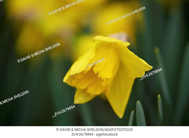 Close-up of daffodil (Narcissus pseudonarcissus) blossoms in a garden in spring