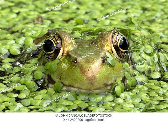 Green frog, Lithobates clamitans, Washington DC