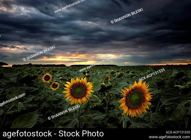 Sunset over sunflower field in rural Manitoba, Canada