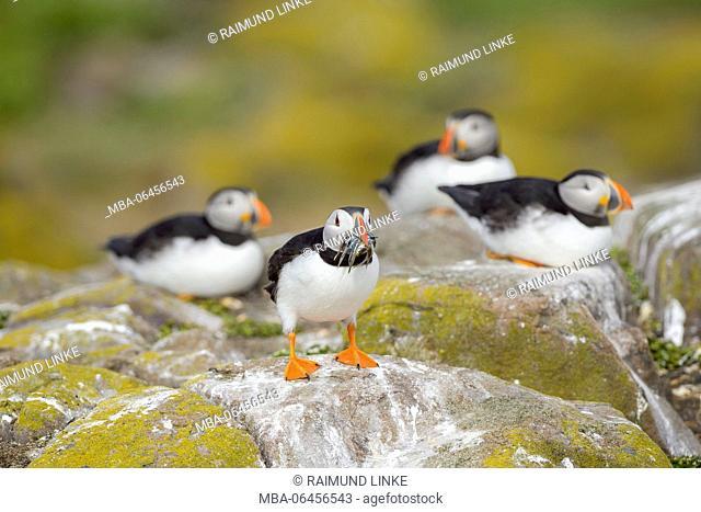 Atlantic Puffin, Fratercula arctica, Group of Birds, Europe