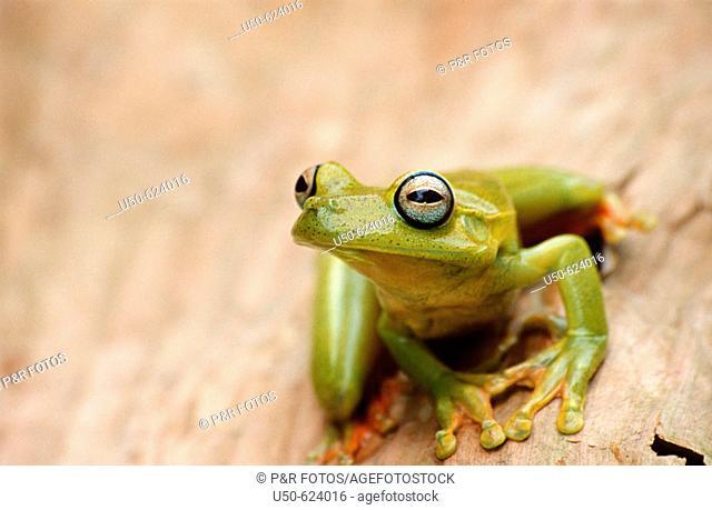 Grenn Treefrog, Hyla albomarginata, Anura: Hylidae, 2005, Guarapari. Espirito Santo, southeastern Brazil