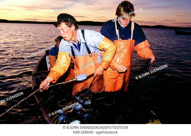 Fishermen using traditional methods to catch herring. Havstenssund. Bohuslän, Sweden