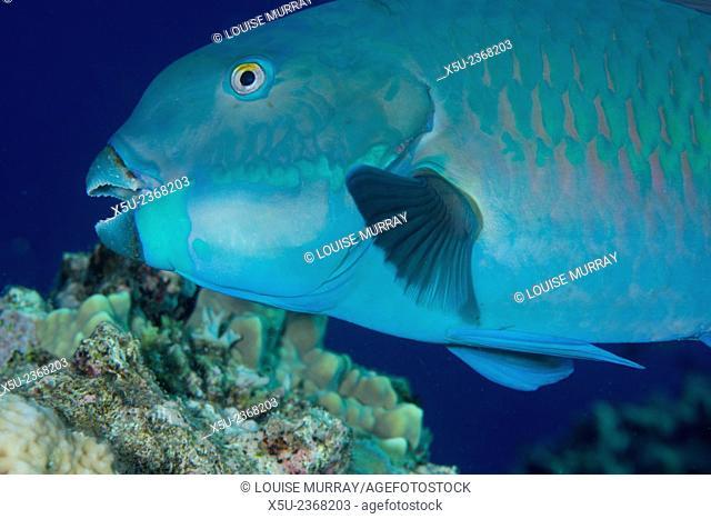 Indian steephead parrotfish, Scarus strongycephalus, beak open feeding