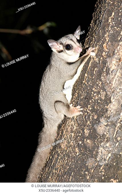 Sugar glider, Petaurus breviceps a kind of possum with a bushy prehensile tail. It has a potagium or thin membrane that stretches from wrist to ankle and allows...