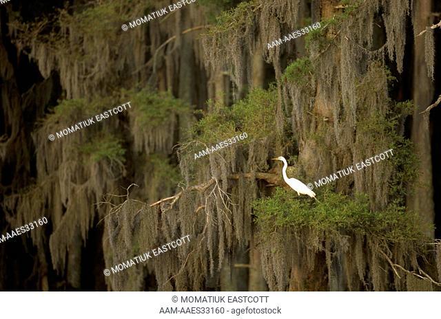 Great Egret in Bald Cypress (Casmerodius albus) Lake Verret, LA, Louisiana