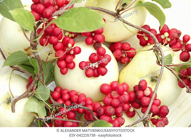 Red schisandra and white apples. Still life with clusters of ripe schizandra and white apples. Harvest with red schisandra chinensis plants with ripe fruits and...