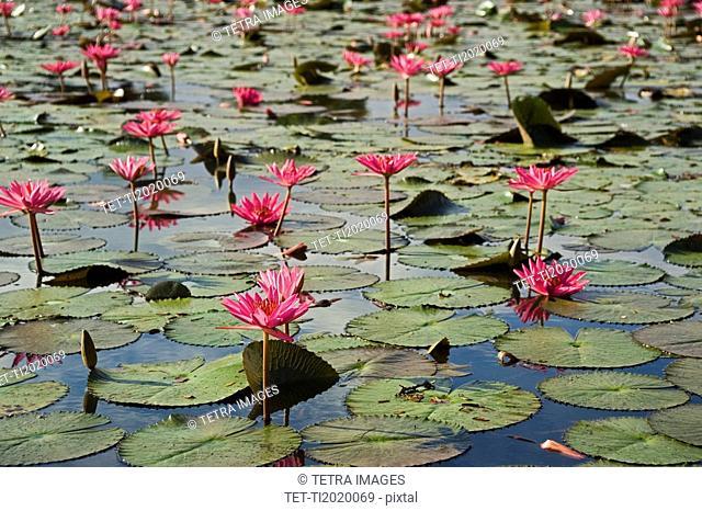 Lilies at ancient Temple Angkor Wat Cambodia Khmer