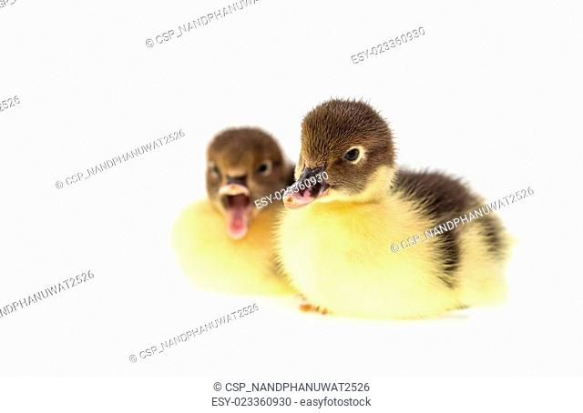 Close up small duckling isolated on white