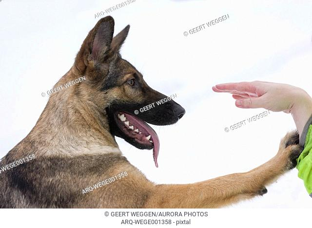 Profile headshot of a single German Shepherd dog looking at hand of person