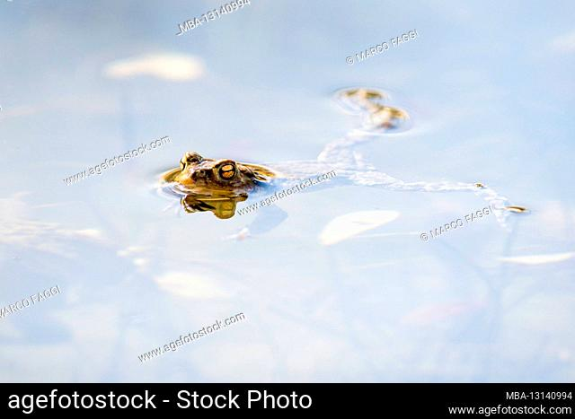 Common toad in the water