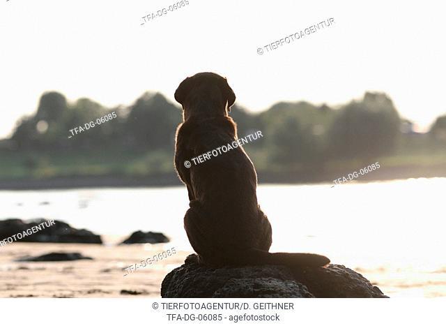 sitting Labrador Retriever