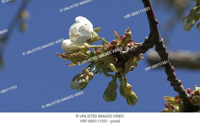 Spring fruit tree flower