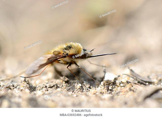large bee fly, Bombylius major, sitting on the ground