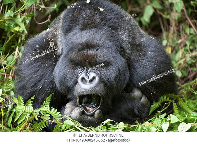 Mountain Gorilla Gorilla beringei beringei silverback adult male, close-up of head and shoulders, yawning, resting in vegetation, Volcanoes N P