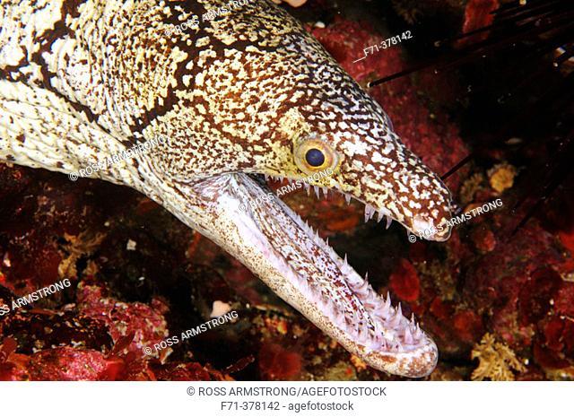 Mosaic moray eel, Enchelycore ramosa, Poor Knights islands, New Zealand