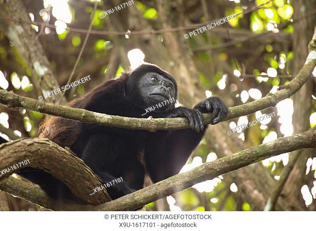 Howler monkey Alouatta at Cahuita National Park, Cahuita, Caribbean Coast, Costa Rica, Central America