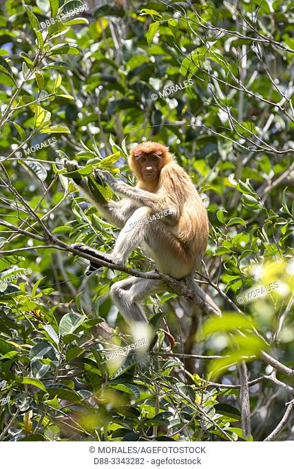 Asia, Indonesia, Borneo, Tanjung Puting National Park, Proboscis monkey or long-nosed monkey (Nasalis larvatus)