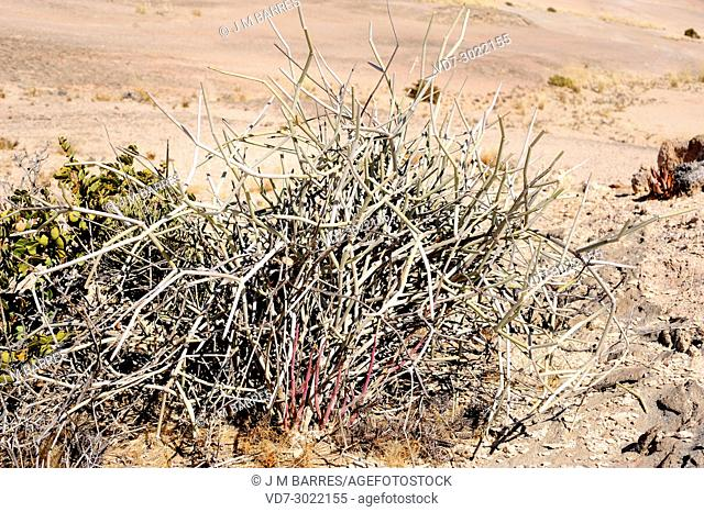 Damara milk bush (Euphorbia damarana) is a lifeless shrub very poisonous. Its latex is mortal for animals and humans, excep oryx and rhino