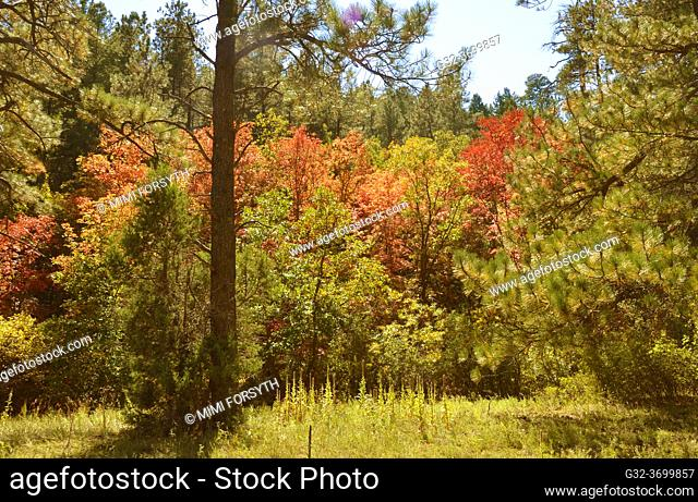 Autumn foliage, Cibola National Forest, New Mexico. Oak and Bigtooth Maple (Acer grandidentatum) (red)