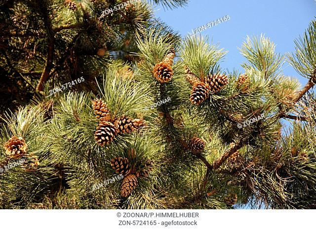 Pinus nigra ssp. austriaca, Schwarzkiefer, Black pine