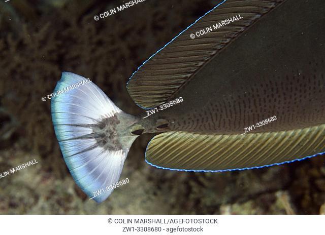 Tail of dark form of Palefin Unicornfish (Naso brevirostris), Yilliet Kecil dive site, night dive, Yilliet Island, Misool, Raja Ampat, Indonesia