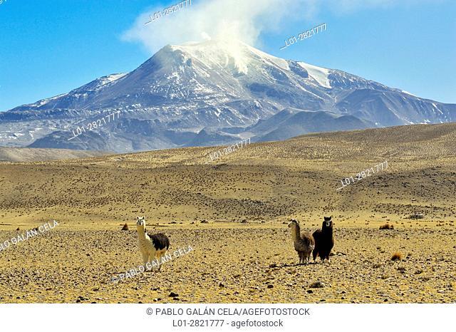 Alpacas under the Guallatire volcano with fumaroles. Lauca National Park. Norte Grande region. Chile